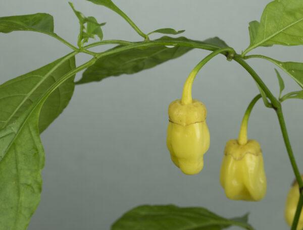 7 Pot Bubblegum Yellow Chilipflanze