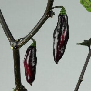 Pimenta da Neyde Chilipflanze