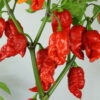 7 Pot Katie Chilipflanze