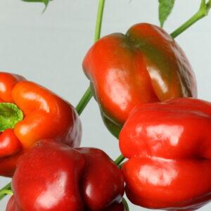 Quadrato D'Asti Rosso Chilipflanze
