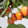 FIdalgo Roxa Chilipflanze