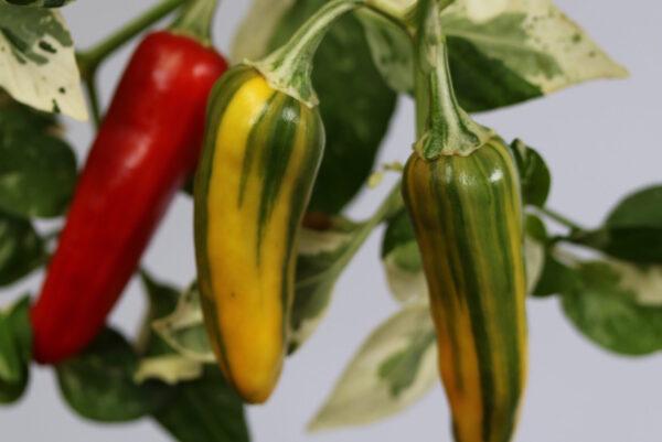 Fish Pepper Chilipflanze