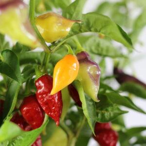Scarlet Lantern Peru Chilipflanze