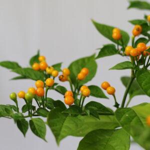 Aji Charapita Chilipflanze