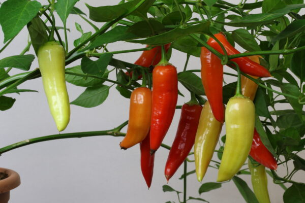 Aji Crystal Chilipflanze