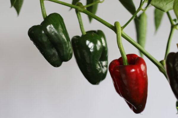 Ancho Grande Chilipflanze