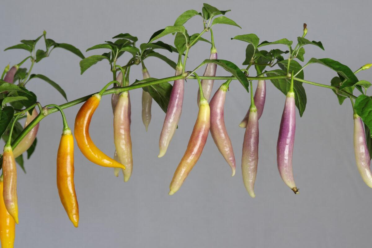 Aji Challuaruro Amarillo Chilipflanze