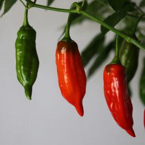 Aji Norteno Chilipflanze
