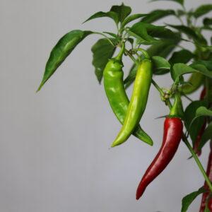 Abchazskij ostruyi Chilifpflanze