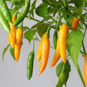 Aji Cito Chilipflanze