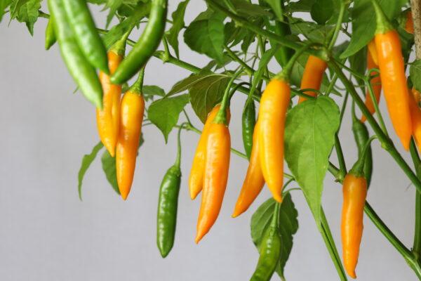 Aji Cito Chilipflanze