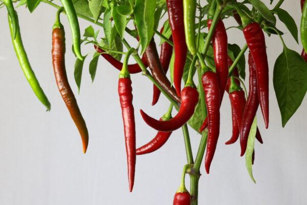 Aci Sivri Chilipflanze