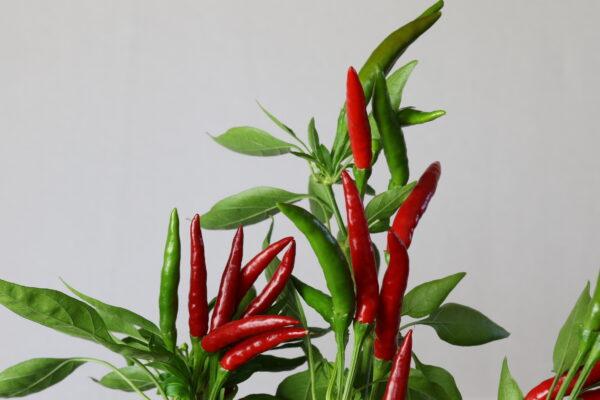 Thai Chilipflanze
