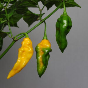 Fatalii Chilipflanze