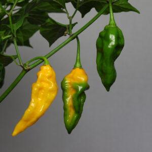 Fatalii Chilipflanze