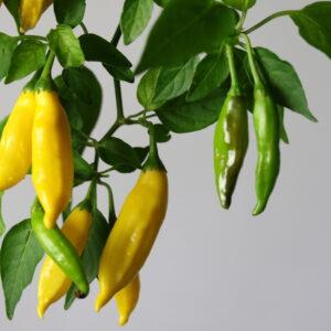 Lemon Drop Chilipflanze