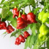 Bishops Crown Chilipflanze