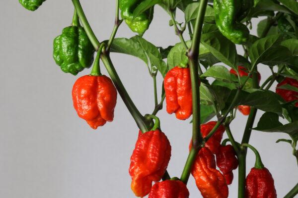 7 Pot Rennie Chilipflanze