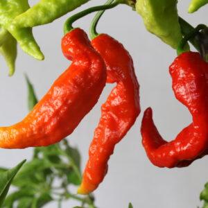 Bhut Jolokia Chilipflanze