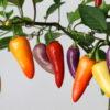 Jalapeno Multicolor Chilipflanze