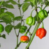 7 Pot Brainstrain Red Chilipflanze