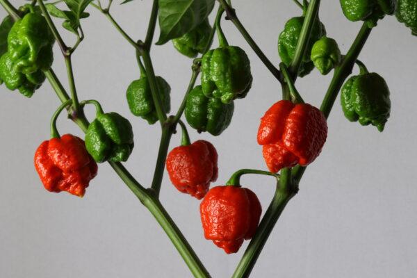 7 Pot Infinity Chilipflanze