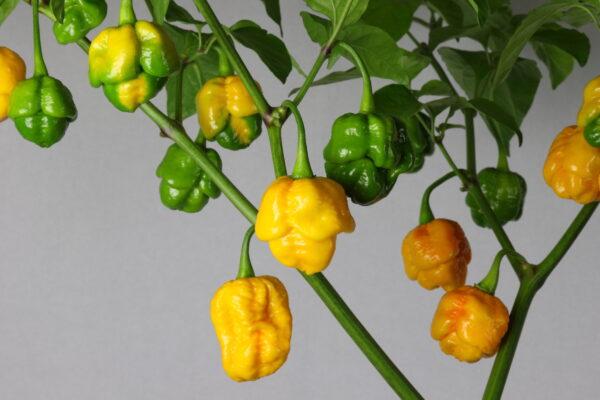 7 Pot Brainstrain Red Chilipflanze