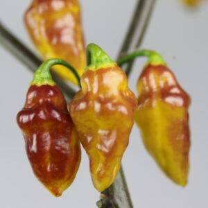 Bolivian Bumpy Chilipflanze