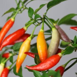 Aji Omlicolor Chilipflanze