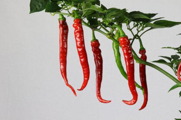 Cayenne Long Slim Chilipflanze