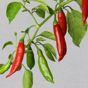 Aji Huanuco Chilipflanze