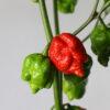 The Superhot Beast Chilipflanze