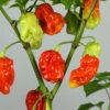 Aji Chombo Chilipflanze