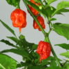 Carolina Reaper Chilipflanze