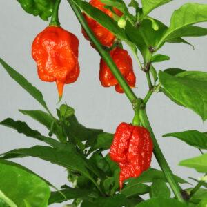 Carolina Reaper Chilipflanze