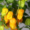 7pot Chaguanas Yellow Chilipflanze