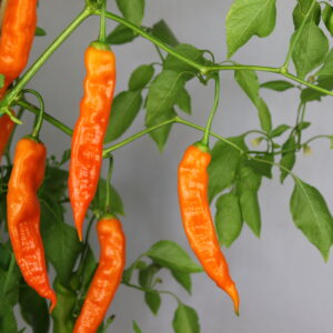 Aji Amarillo Chilipflanze