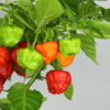 Aji Cachucha Chilipflanze