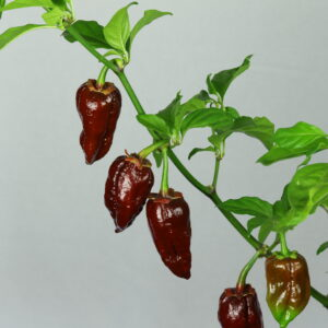 7 Pot Bubblegum Chocolate Chilipflanze