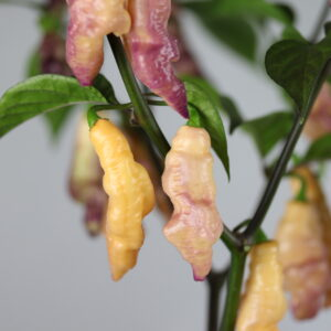 Pink Tiger Chilipflanze