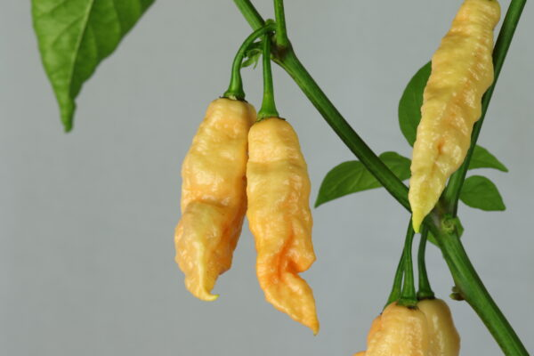 Jay's Peach Ghost Pepper Chilipflanze