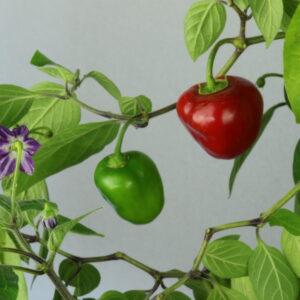 Rocoto Manzano Rojo Chilipflanze
