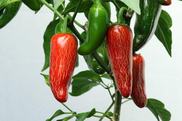 Jalapeno Early Chilipflanze