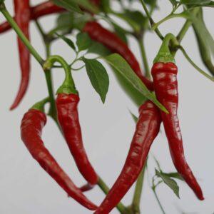 Aji Cacho de Cabra Chilipflanze