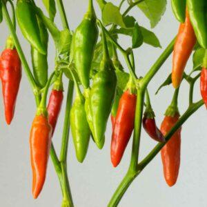 Aji de Sazonar Chilipflanze