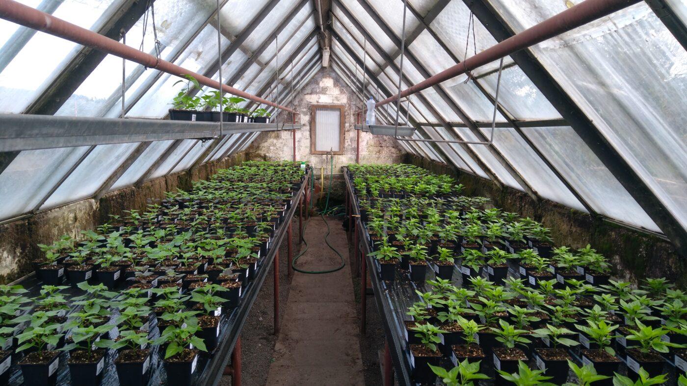 Gewächshaus voller Chilipflanzen