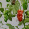 Padron Chilipflanze
