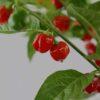 Scotch Bonnet Red Chilipflanze