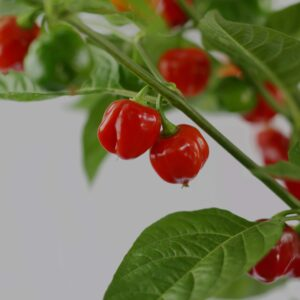 Scotch Bonnet Red Chilipflanze
