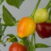 Trepadeira Werner Chilipflanze